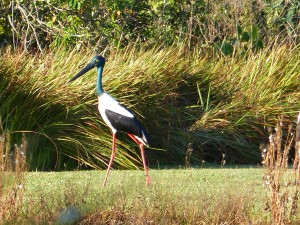 Blacknecked Stork